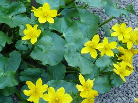 Marsh Marigold Flowering