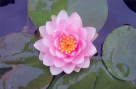 Pink Waterlilly