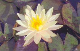 Yellow Water Lilly Flower